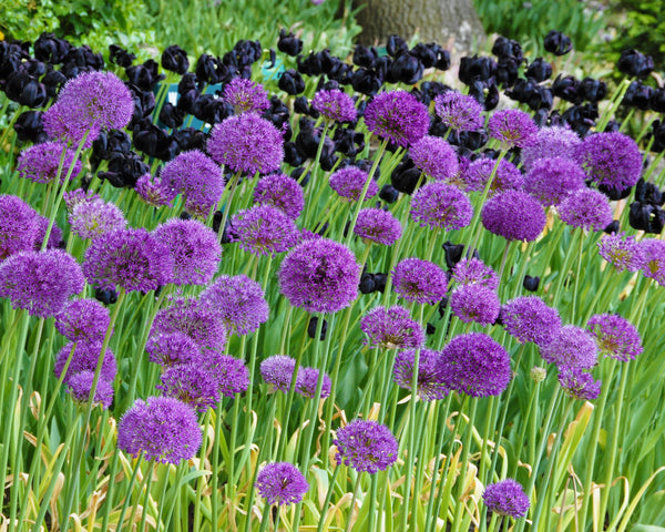 Flower BulbsPurple Sensation Bulbs UK - 2