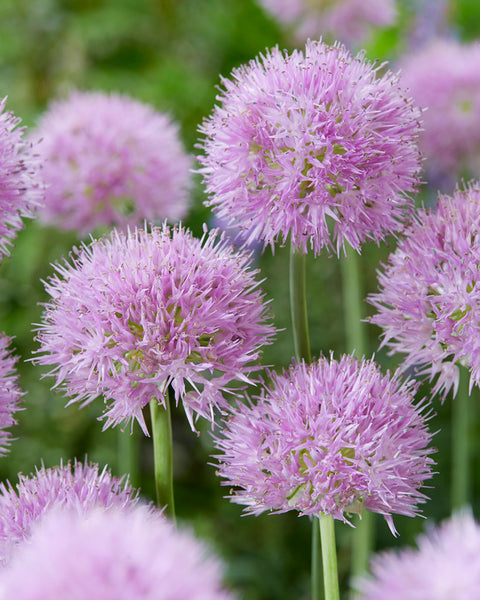 Allium Rosy Beauty