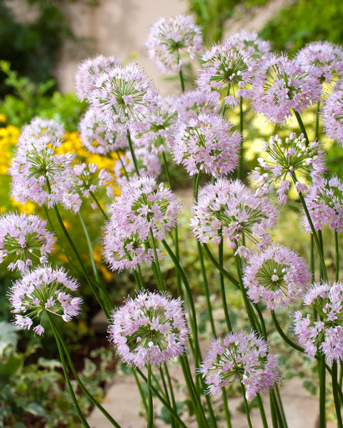Allium Summer Beauty