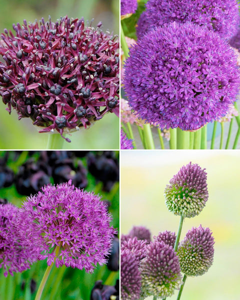 Allium Collection Purple Rain