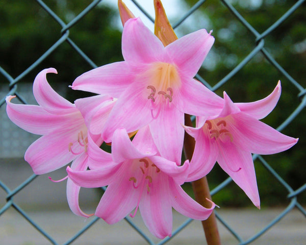 amaryllis belladonna bulbs buy 39 naked ladies 39 bulbs online at farmer gracy uk. Black Bedroom Furniture Sets. Home Design Ideas