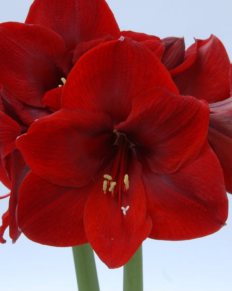 Flower BulbsCarmen Bulbs UK - 1
