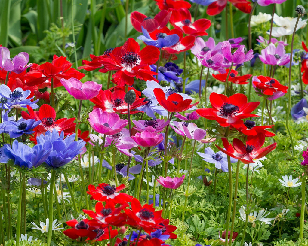 anemone coronaria 39 de caen 39 bulbs buy online at farmer. Black Bedroom Furniture Sets. Home Design Ideas