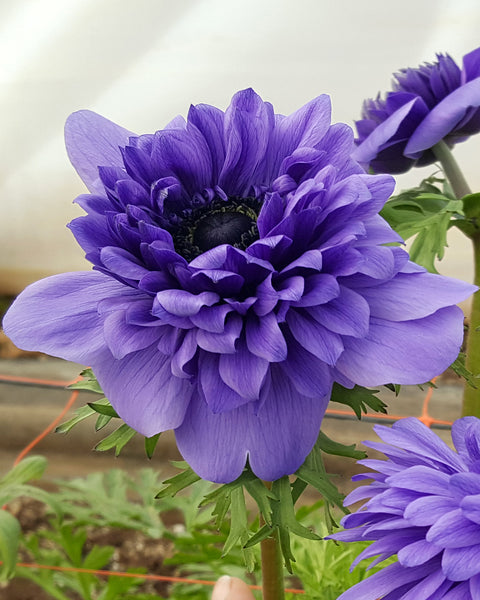 Anemone Full Star Blue