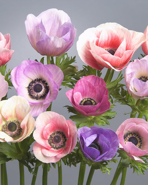Anemone Galilee Pastel Mix