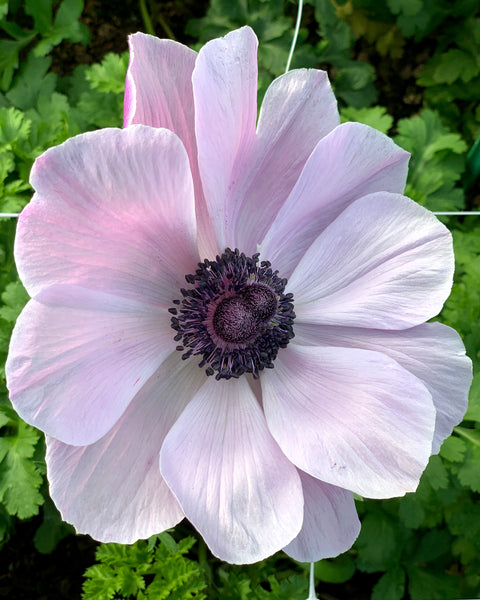 Anemone Mistral® Rarity