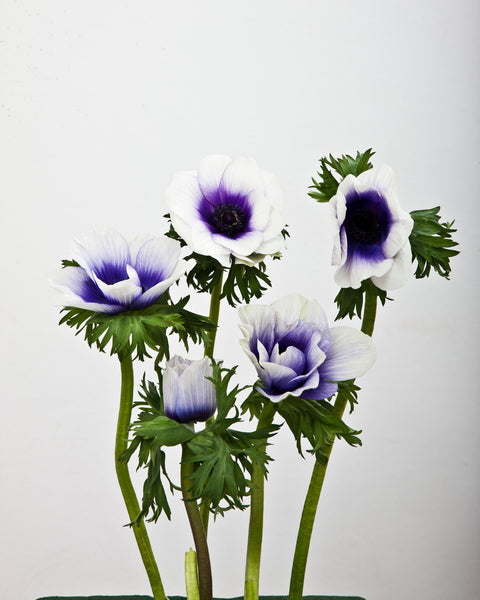 Anemone Rainbow Blue & White
