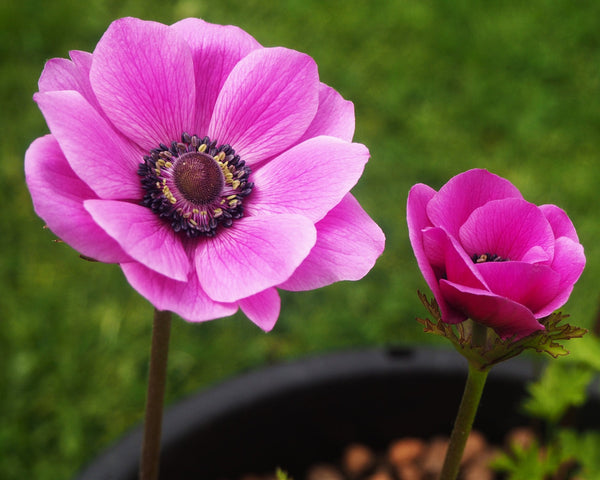 Anemone Sylphide (Pink)