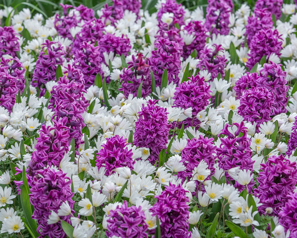 Flower BulbsWhite Splendour Bulbs UK - 5