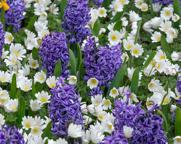 Flower BulbsWhite Splendour Bulbs UK - 8