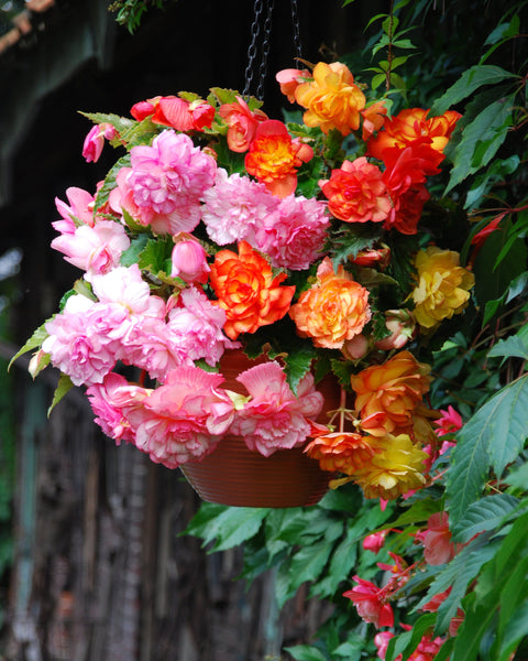 Begonia Balcony Mixed Colours