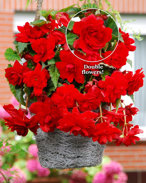 Begonia Cascade Red