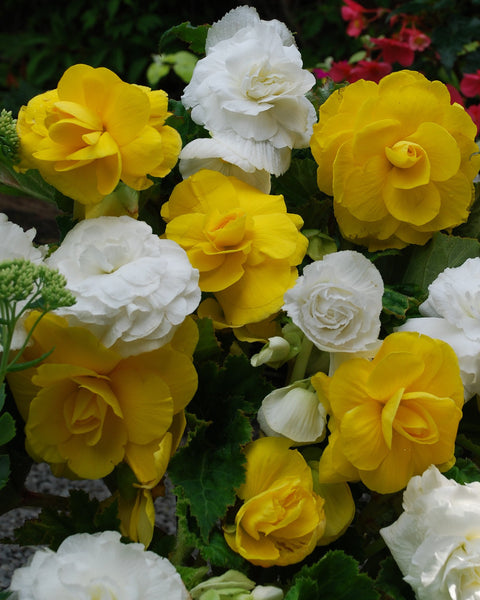 Begonia Collection Dorset