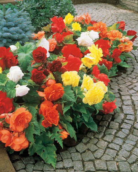 Begonia Double Mixed Colours