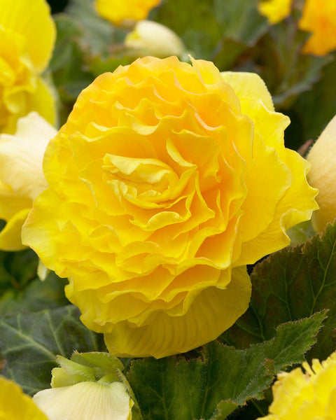 Begonia Double Yellow