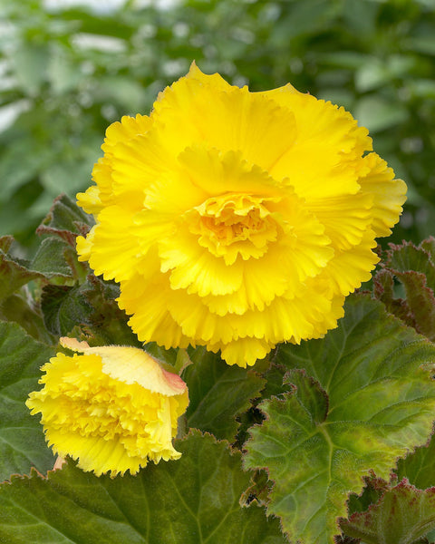 Begonia Fimbriata Yellow