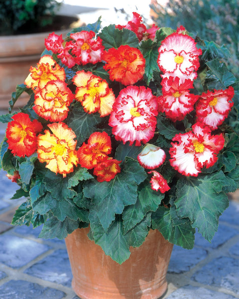 Begonia Collection Flamenco Mixed
