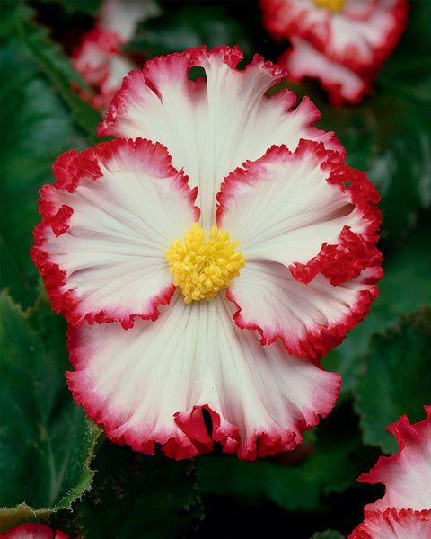 Begonia Flamenco White