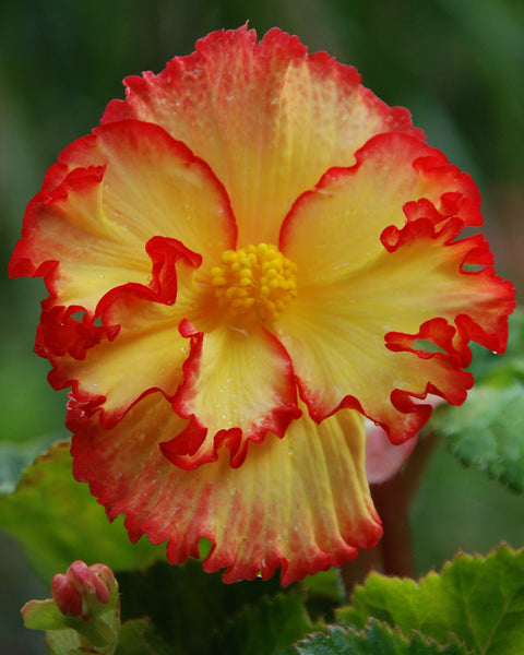 Begonia Flamenco Yellow