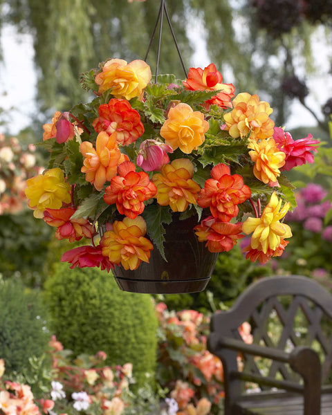 Begonia Golden Balcony