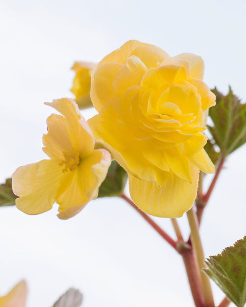 Begonia Pendula Yellow