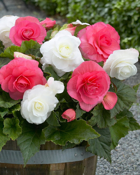 Begonia Collection Kent