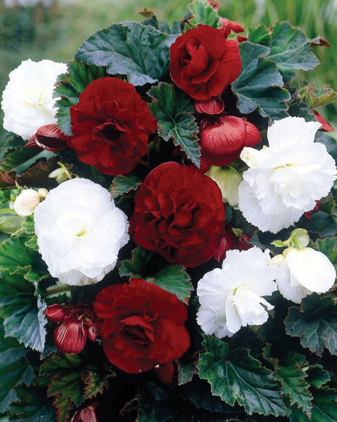 Begonia Collection London