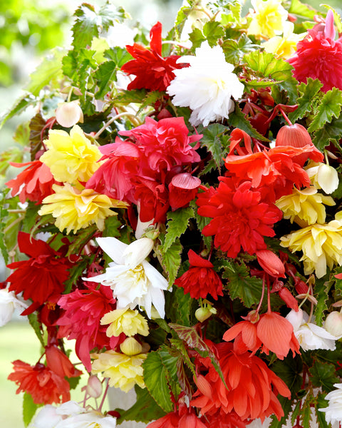 Begonia Pendula Mixed Colours