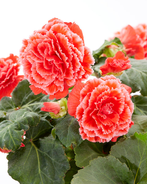 Begonia AmeriHybrid® Picotee Lace Red