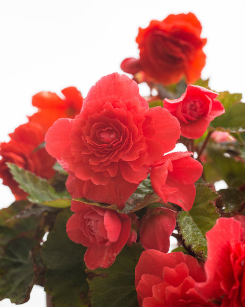 Begonia odorata Red Glory