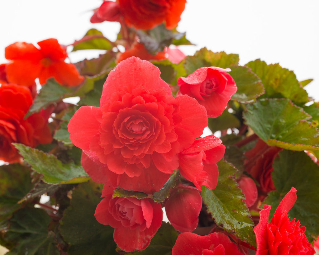 Red Fragrant Begonias