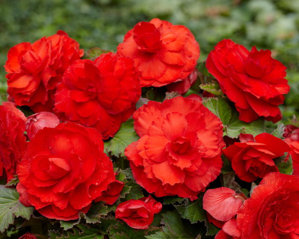 Begonia Superba Red