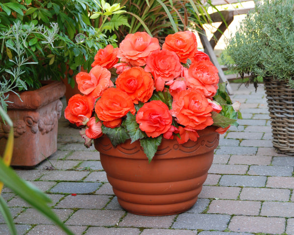 Begonia Superba Salmon