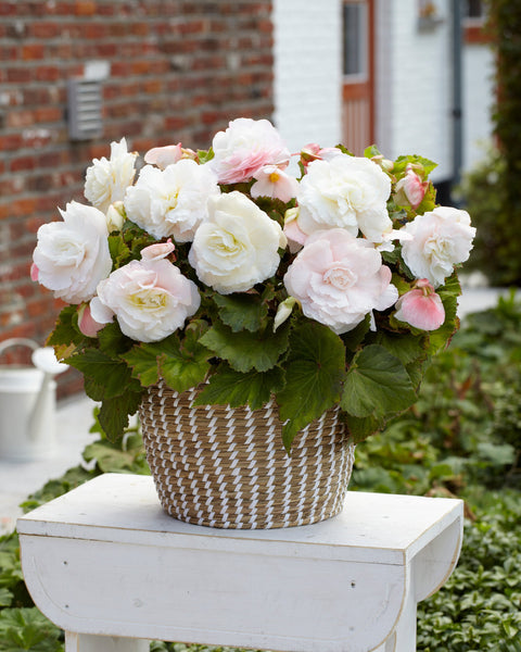 Begonia Superba White