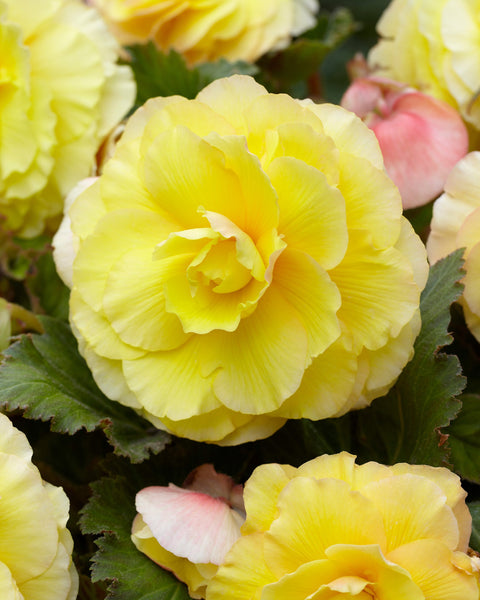 Begonia Superba Yellow