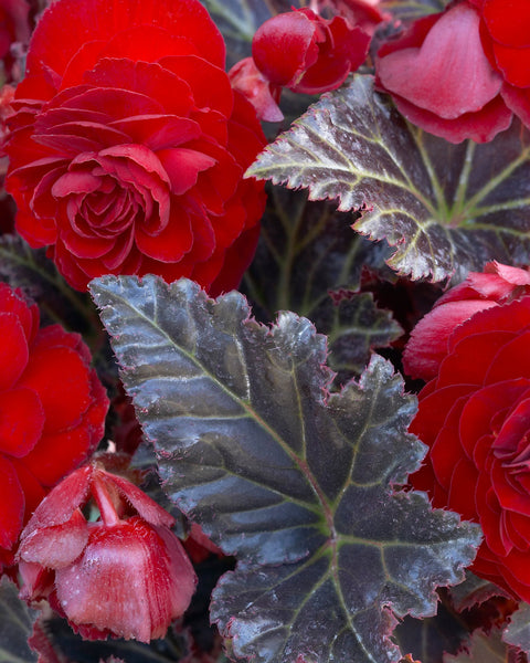 Begonia Switzerland