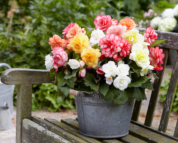 Begonia Wummi Mix