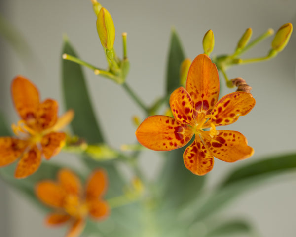 Belamcanda Orange Queen