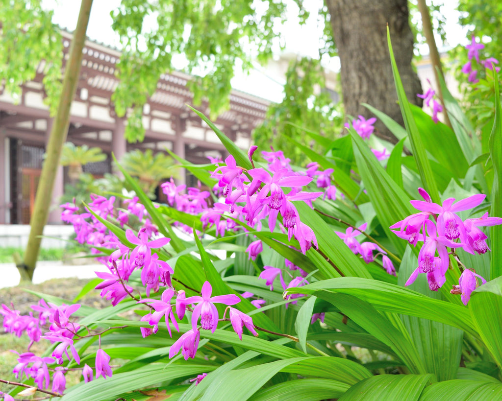 Chinese Ground Orchids
