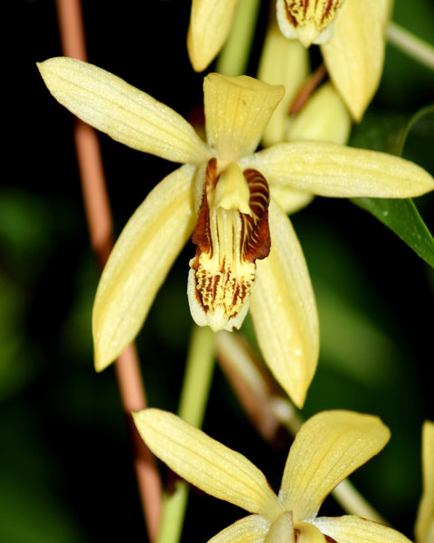 Bletilla striata Yellow