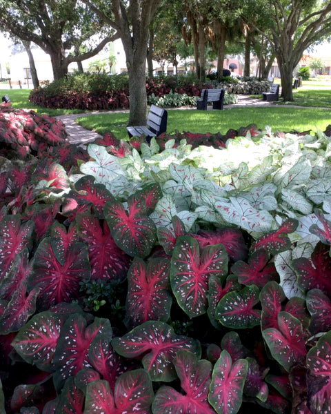 Caladium Cranberry Star