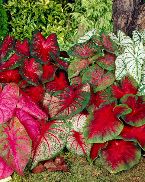 Caladium Fancy Mix