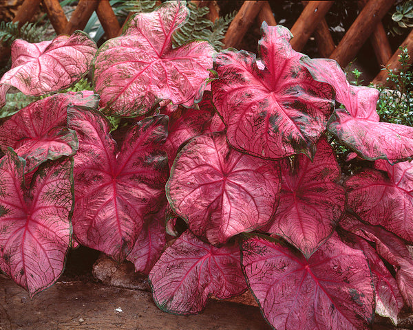 Caladium Fannie Munson
