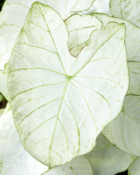 Caladium Florida Moonlight