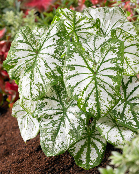 Caladium White Christmas