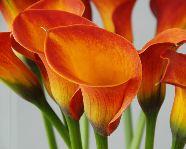 Calla Lily Captain Safari