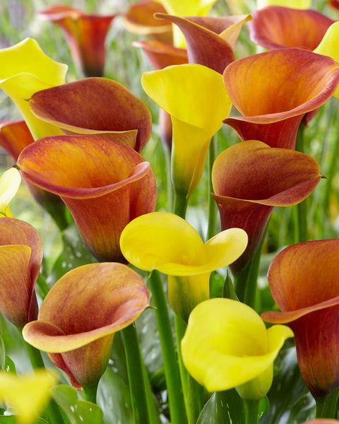 Calla Collection Lion