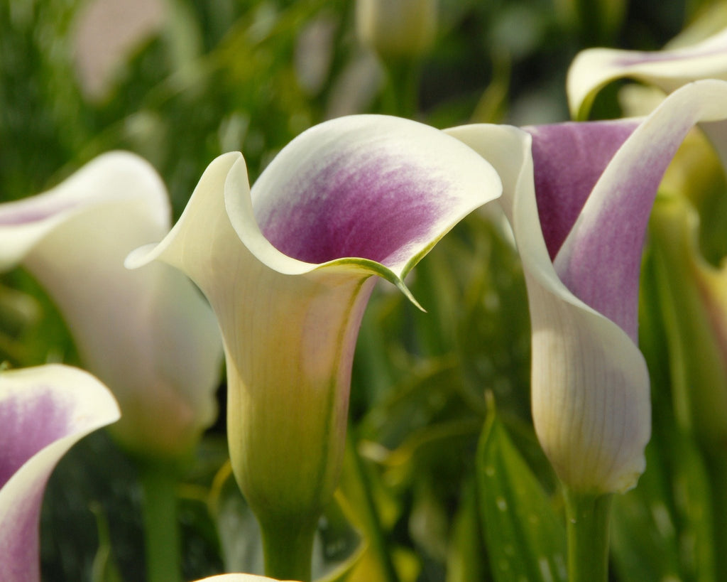 Calla bulbs