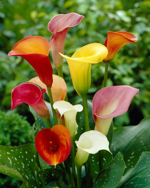 Calla Collection Rainbow