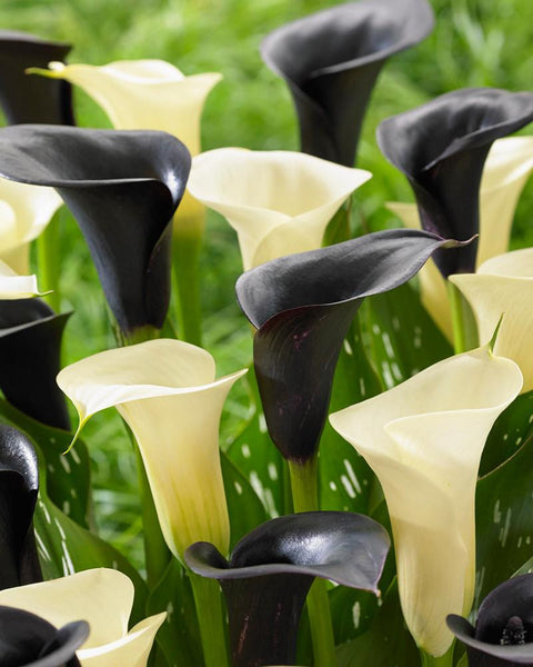 Calla Collection Zebra